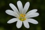 Corolle der weiße Blume. Pierre Pomarel