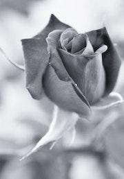 Rose. Pierre Pomarel