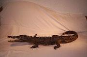 Crocodile du Nil. Eberhard Landmann