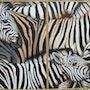 Manada de cebras. Ariane Kolosvary-Stierlin