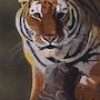 Tiger. Brian L Art