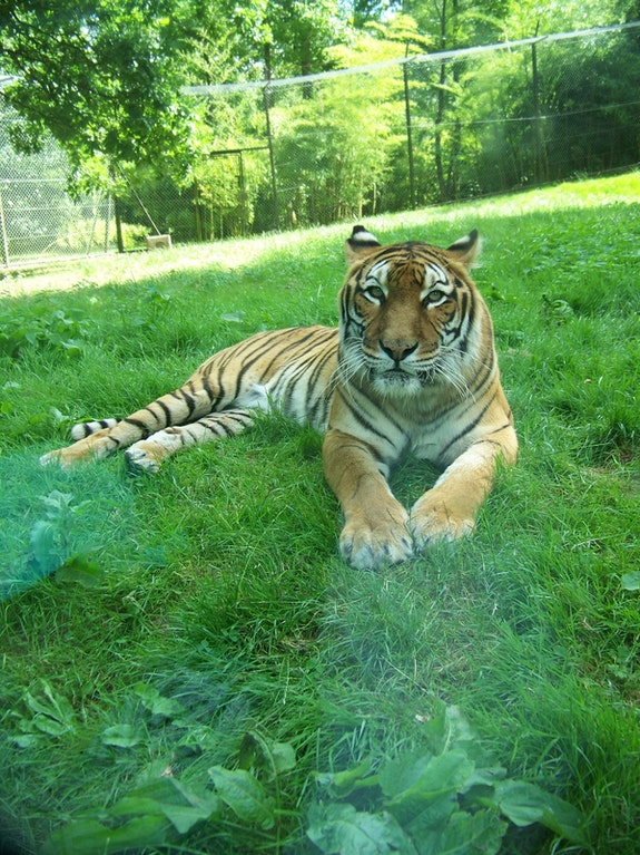 Tigre Beau. Byby Byby