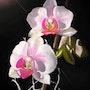 The orchid. Bernard Sannier