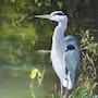 Heron à l'étang. Gerhard Winkelmann
