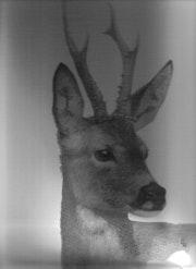 Portrait deer. Christelle Mazet