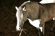 Le Bel Andalou. Cheval de pure race espagnol.