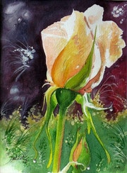 Bouton de lumière, rose magique….