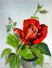 The rose red passion ... .