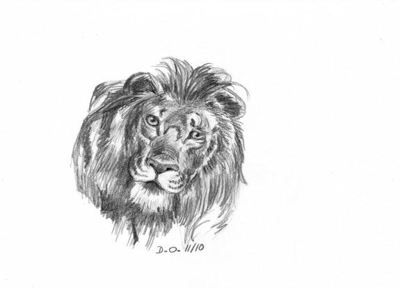 Lion au crayon format a4 . Obry Dominique 33Domy