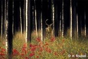 Die Hirsche im Wald Blumen. Artphot