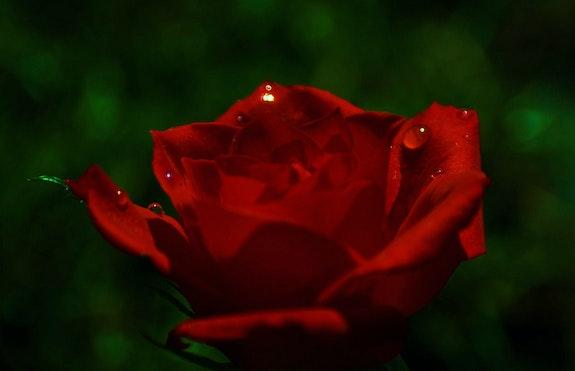 Etincelles du Soleil sur la Rose. Ferri Ferri