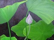 Danse du Lotus.