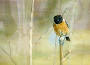 Angry bird on branch, original watercolour painting.