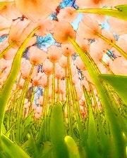Fanfan la tulipe.