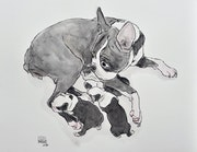 Boston terrier maternity.