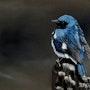 Paruline Bleue. Daniel Bonneau