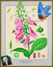 Medical Art, Digitalis. Illustration & Illusion