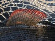 Dordogne grayling.