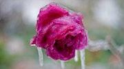 Frozen Rose.