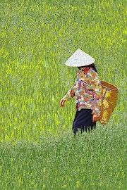 Femme dans les rizières.