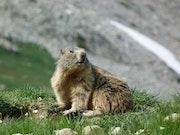 Marmotte au garde à vous.