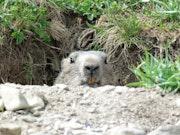 Marmotte sentinelle.