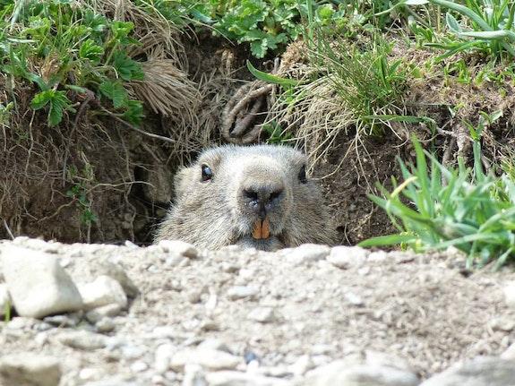Marmotte sentinelle.  Andrée Duniec