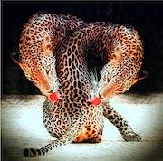 Double léopard….