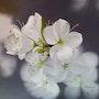 Fleurs de cerisier / Cherry blossoms. Jacqueline Hautbout