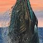 Baleine bleue, blue whale. Yann Riou