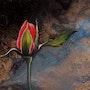 Rose Memory. Isabelle Le Pors