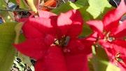 Roses de noël.