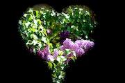 Du lilas dans mon coeur.