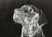 Labrador.