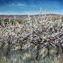 Balade en Bourgogne, les cerisiers d'Irancy.. Marie-Noëlle Ribardiere