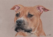 Pastel portrait of american staffordshire terrier.