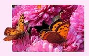 Papillonnades….