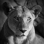 Lion. Loisir