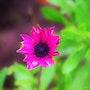 Fleur fuchsia. Marie Claire Michaux