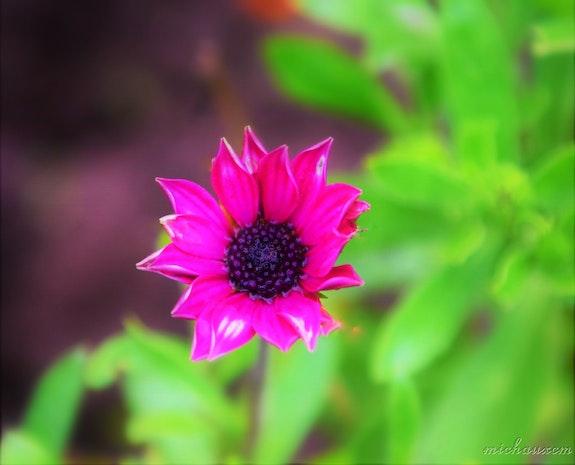 Fleur fuchsia. Michaux Marie Claire Marie Claire Michaux