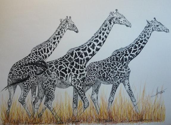 Girafes dans la savane. Yves Briais Yves Briais