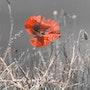 Coquelicot sur fond grisP1110906P. Jean-Marc Le Bouille Photographies