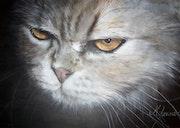 Mimosa, petit chat persan. Marie-Françoise Janssen