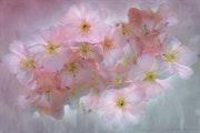 Kirschblüten - Cherry blossoms. Dieter Toelke