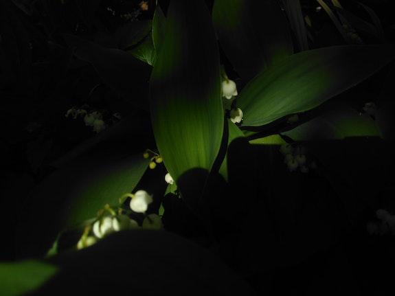 1Er Mai à l'ombre du muguet en fleurs…. Joper Joper