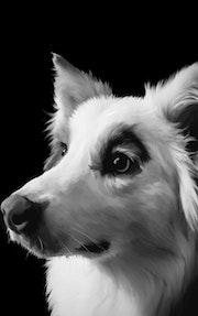 Australian Shepherd Pet Portrait. Libetsdelaeart Llc