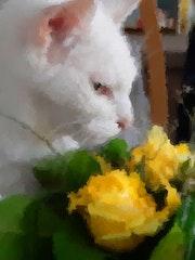 Une rose jaune pour un matou blanc. Marie Carteron