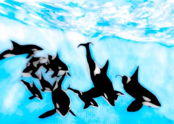 Orca Pod Underwater. Gerard Dourado Jabbyd