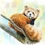 Lesser panda. Jack Luo