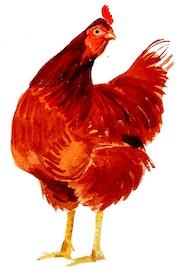 La poule, 2ème sujet de la série.
